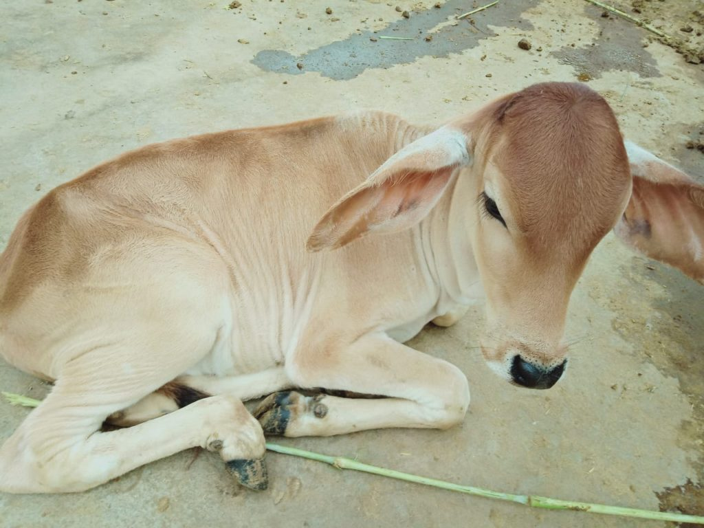 Calf @pkp animal shelter Udaipur